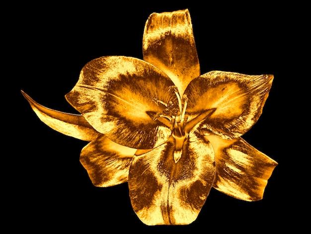 Flor de lírio dourado isolada no fundo preto.
