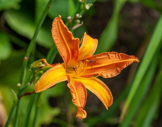 Flor de lírio laranja
