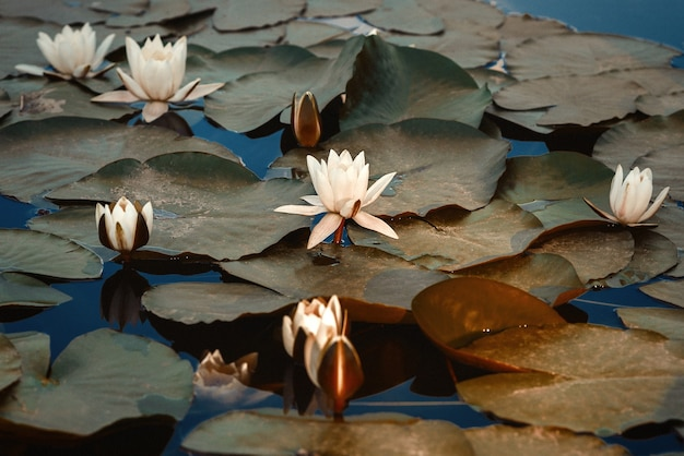 Flor de lírio no jardim botânico. flor de lotus.