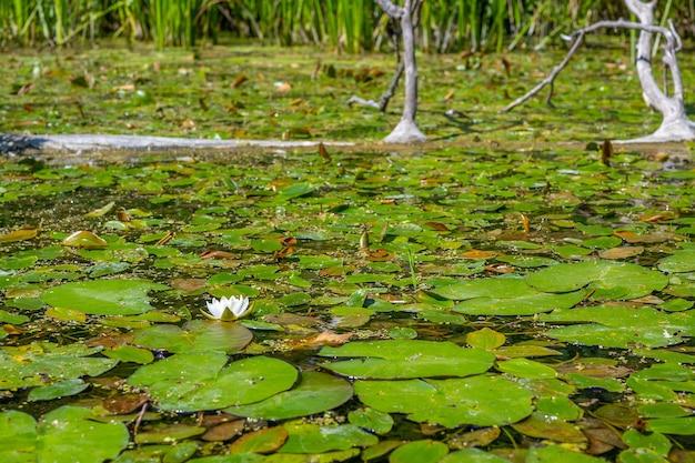 Flor de lírio selvagem no fundo da superfície da água. natureza selvagem. foto com bons detalhes.