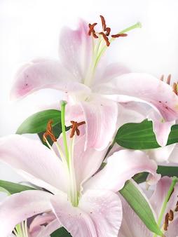 Flor de lírio