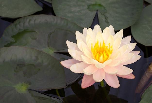 Flor de lótus amarela na lagoa