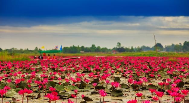 Flor de lótus ascendente do sol na tailândia