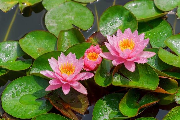 Flor de lótus bonita cor-de-rosa em um lírio de água colorido.
