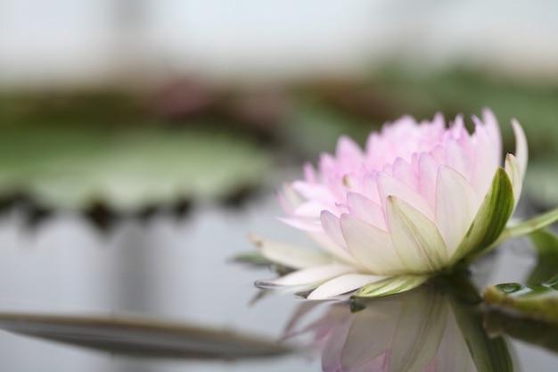 Flor de lótus bonita na água