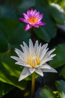 Flor de lótus branca linda flor de lótus.