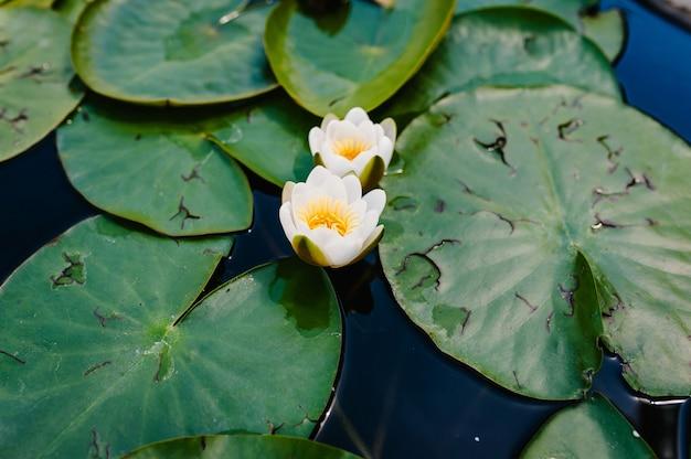 Flor de lótus branco flutuando na água