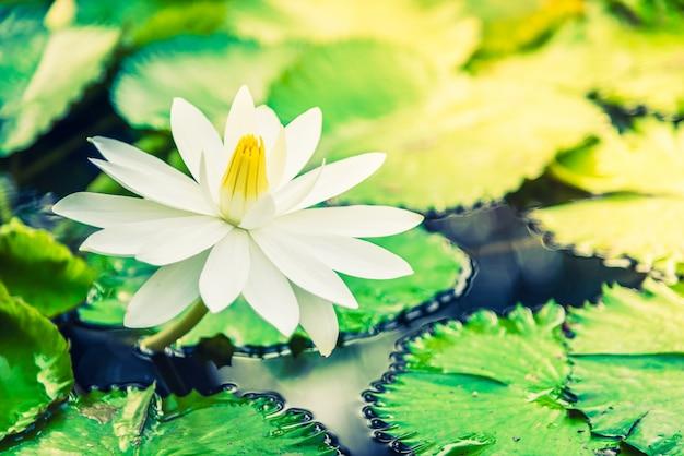 Flor de lótus branco