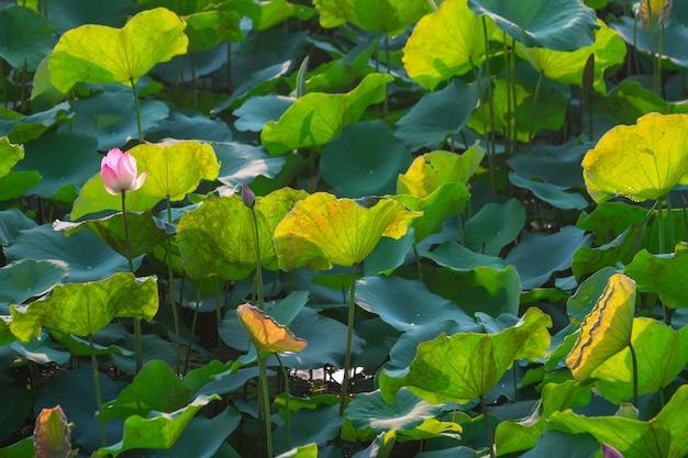 Flor de lótus cor-de-rosa bonita do close up na lagoa.