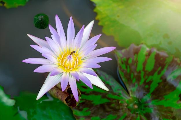 Flor de lótus cor-de-rosa bonita. fechar o foco com folha verde na lagoa, surf de águas azuis profundas