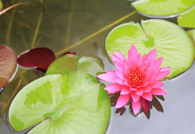 Flor de lotus cor-de-rosa bonita na lagoa, no lírio de água do close-up e na folha na natureza.