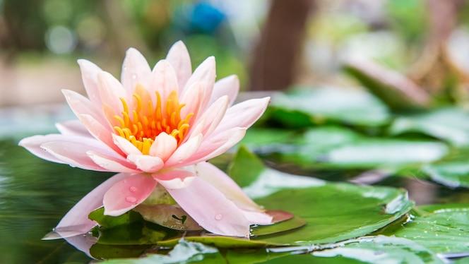 Flor de lótus é complementada pelas cores ricas da superfície da água azul profundo.natureza voltar