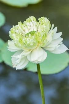 Flor de lótus e plantas de flor de lótus usam como plano de fundo