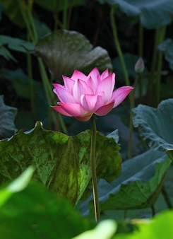 Flor de lótus e plantas de flor de lótus