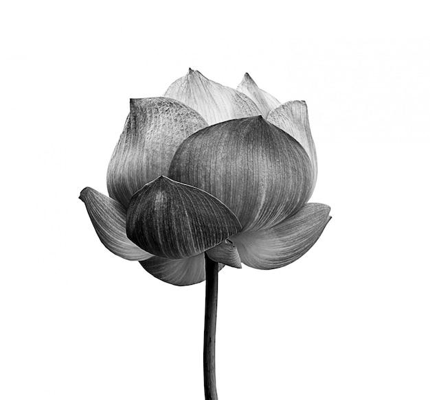 Flor de lótus em preto e branco, isolado no espaço em branco