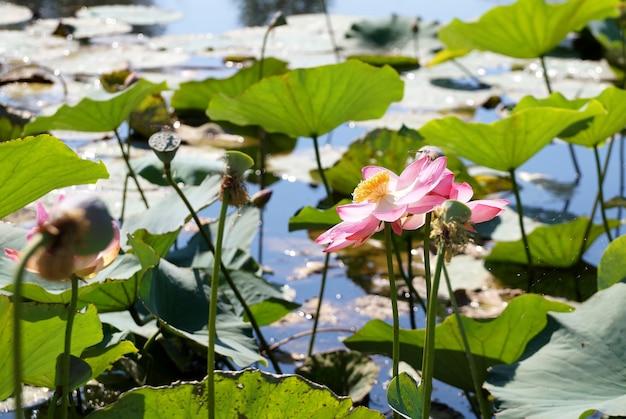 Flor de lótus em uma planície de inundação do rio volga, na região de volgogrado, na rússia