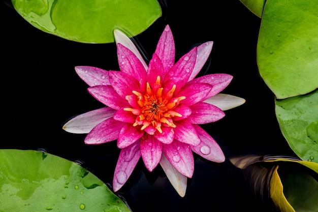 Flor de lótus florescendo no jardim botânico