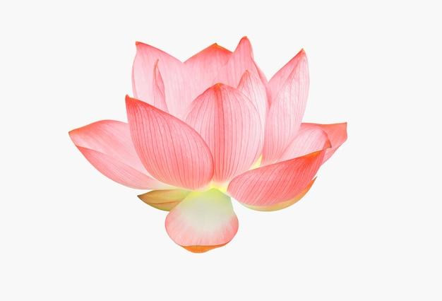Flor de lótus isolada no fundo branco. conceito de natureza para design e montagem de publicidade. arquivo contém com traçado de recorte tão fácil de trabalhar.