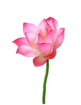 Flor de lótus isolada no fundo branco.