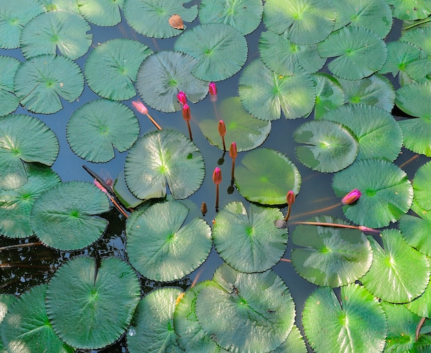 Flor de lótus ou lírio d'água