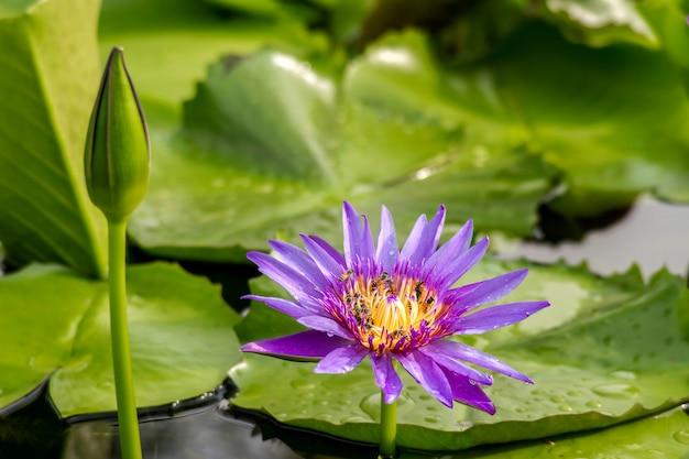 Flor de lótus ou nenúfar na água com fundo de gota de chuva