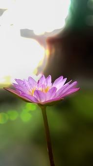Flor de lótus rosa e bokeh de fundo