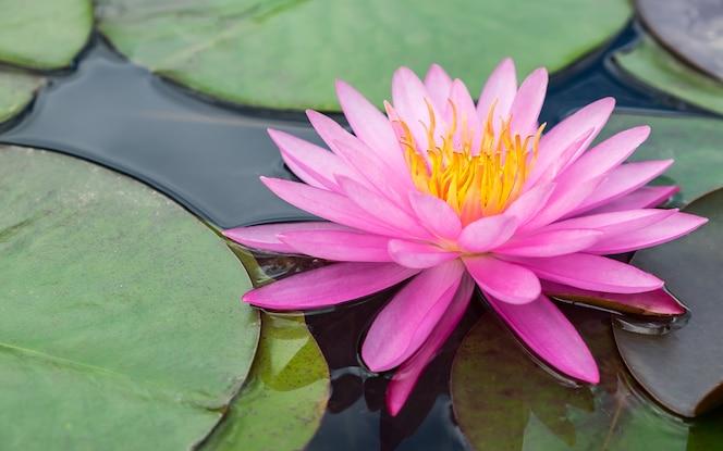Flor de lótus rosa e planta