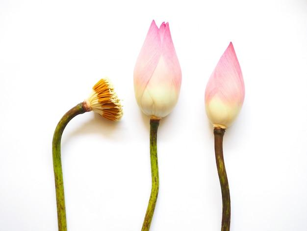 Flor de lótus rosa e pólen isolado