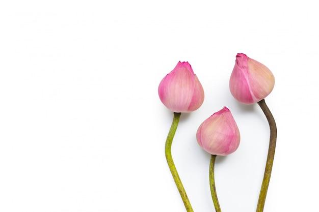 Flor de lótus rosa em fundo branco