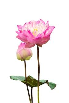 Flor de lótus rosa isolada no fundo branco