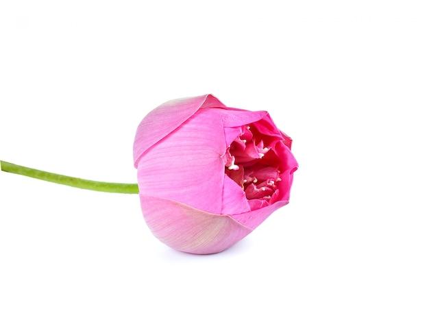 Flor de lótus rosa linda isolada