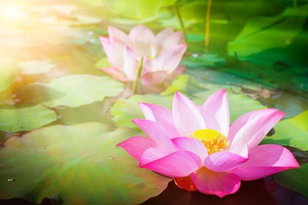 Flor de lótus rosa linda na natureza com o nascer do sol para o fundo