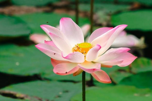 Flor de lótus rosa na lagoa, foto macro de uma flor de lótus rosa em uma lagoa.