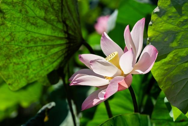 Flor de lótus rosa nas folhas verdes da fazenda