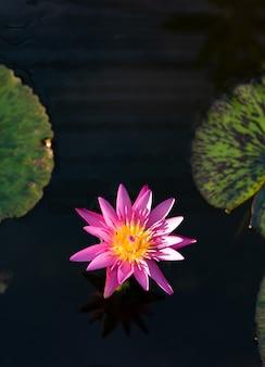 Flor de lótus rosa ou waterlily na lagoa com fundo escuro