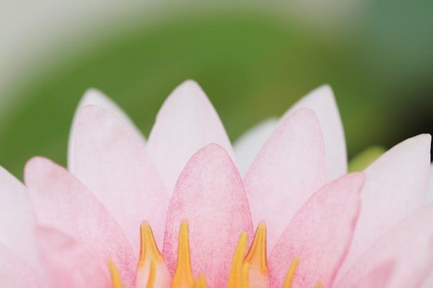 Flor de lótus rosa pétala.