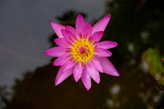 Flor de lótus rosa