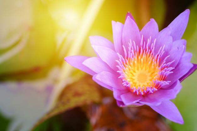 Flor de lótus roxa aberta em um lago com centro amarelo e