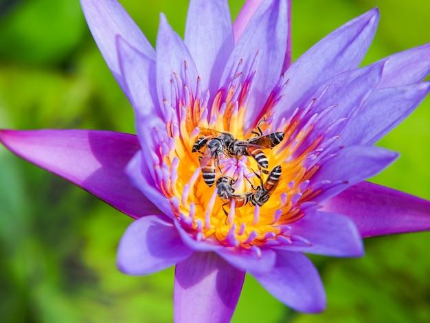 Flor de lótus roxa e abelhas na luz da manhã