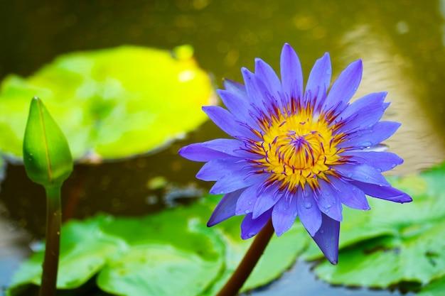 Flor de lótus roxa florescendo na lagoa e almofada de borrão no fundo da água