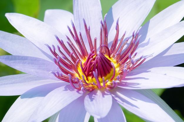 Flor de lótus roxa macro ou nymphaea nuchal.