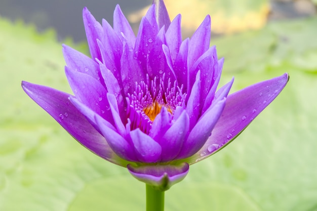 Flor de lótus roxa na água fundo bonito