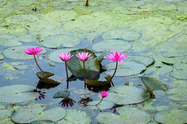 Flor de lótus roxa na lagoa.