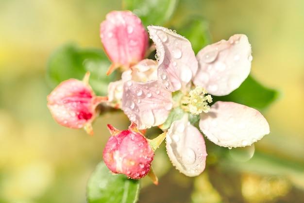 Flor de maçã da primavera contra um céu azul brilhante.