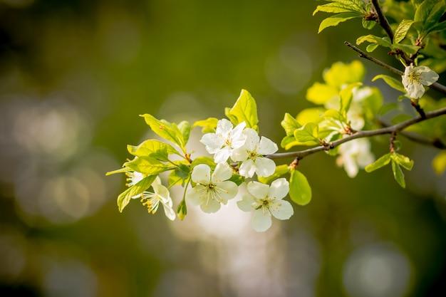 Flor de maçã. flores de macieira. abelha recolhe néctar nas macieiras flores. abelha sentada em uma flor de maçã. flores da primavera Foto Premium
