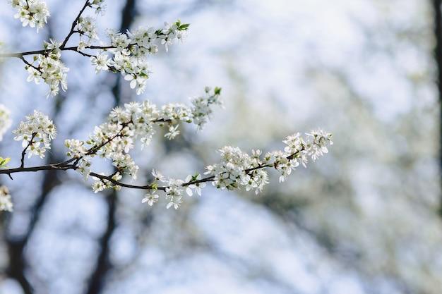 Flor de maçã ou flor de cerejeira em um dia ensolarado de primavera