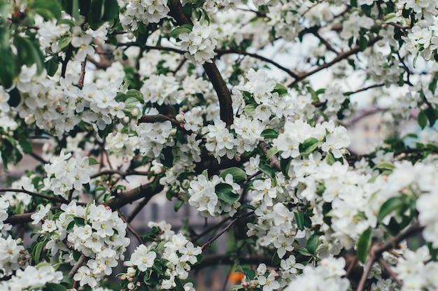 Flor de maçã primavera, flores brancas e naturais