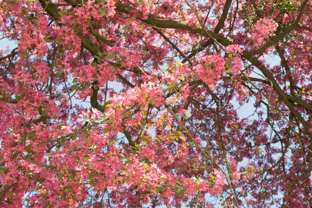 Flor de maçã rosa no jardim. lindas flores de primavera ao sol