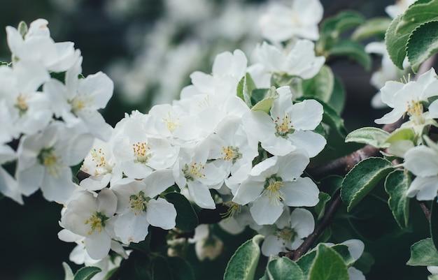 Flor de maçã sobre a natureza, flores da primavera