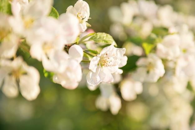 Flor de macieira flores primavera, branca brilhante e flor de appletree iluminada por um raio brilhante